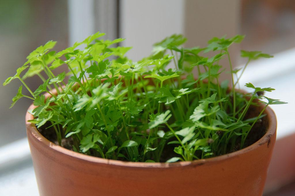 Diferencias entre cilantro y perejil