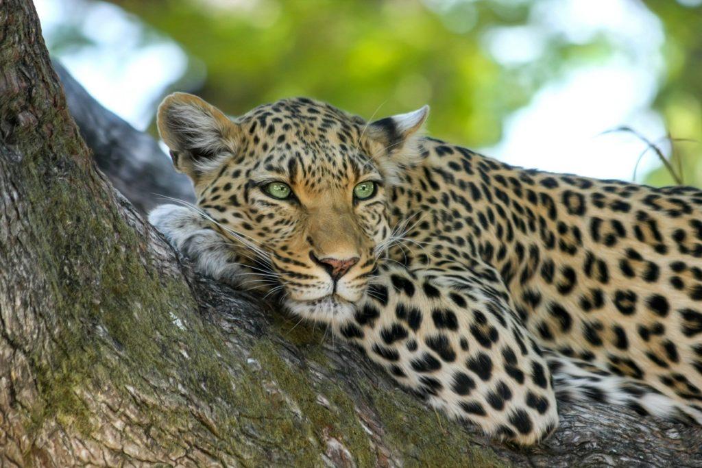 Diferencias entre guepardo y jaguar