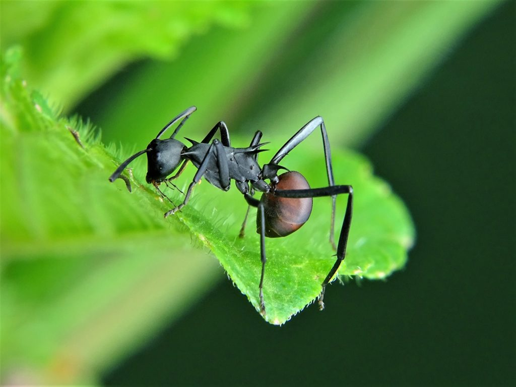 Diferencias entre hormiga y termita